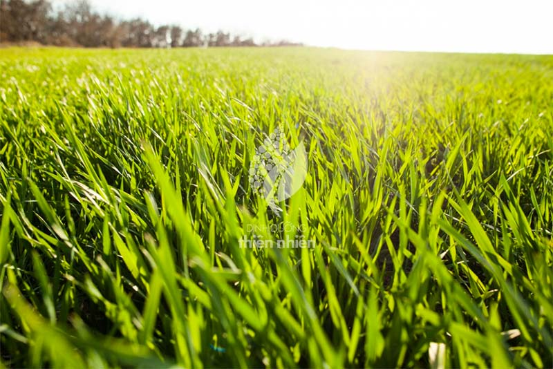 AmazingGrass_WheatGrass_Process_01